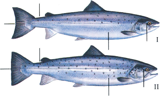 how to fish for sea trout