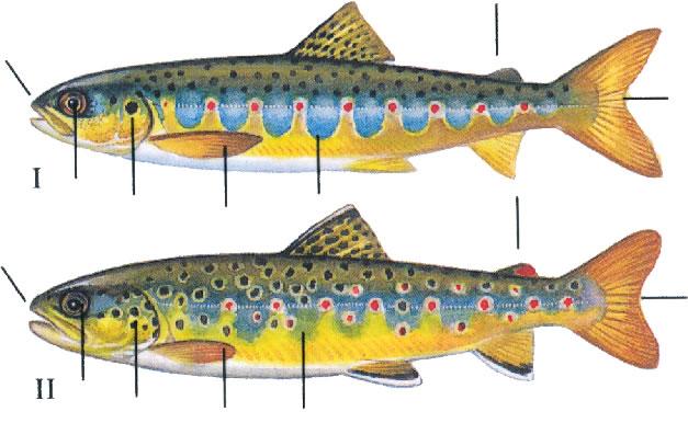 Salmon and sea trout - Parr recognition