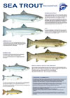 Sea Trout - Recognition